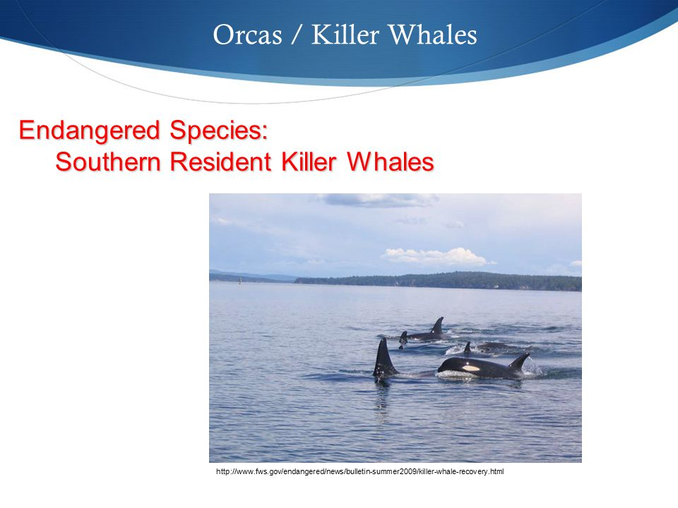 Orcas / Killer Whales http://www.fws.gov/endangered/news/bulletin-summer2009/killer-whale-recovery.html Endangered Species: Southern Resident Killer Whales Southern Resident Killer Whales