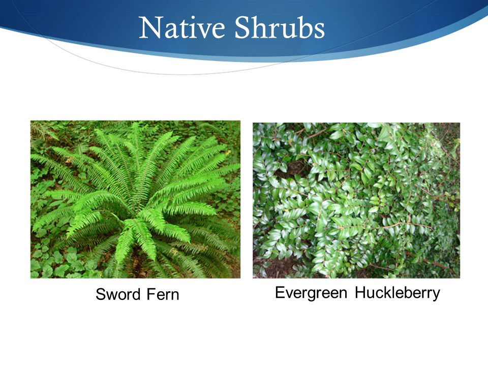 Native Shrubs Sword Fern Evergreen Huckleberry