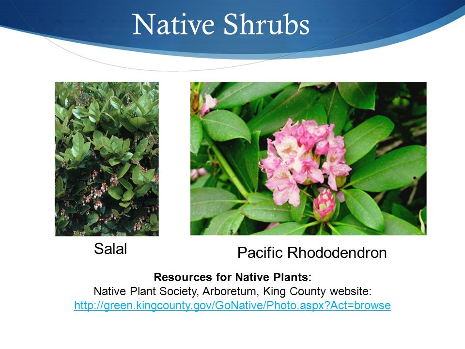 Native Shrubs Salal Pacific Rhododendron Resources for Native Plants: Native Plant Society, Arboretum, King County website: http://green.kingcounty.gov/GoNative/Photo.aspx?Act=browse