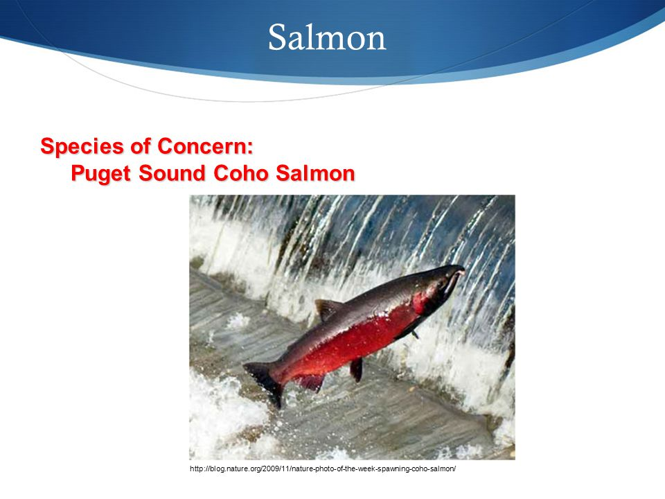Salmon http://blog.nature.org/2009/11/nature-photo-of-the-week-spawning-coho-salmon/ Species of Concern: Puget Sound Coho Salmon Puget Sound Coho Salmon