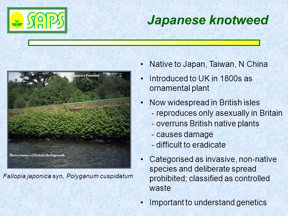 Japanese knotweed Japanese Knotweed Photo courtesy of Michelle Hollingsworth Fallopia japonica syn, Polyganum cuspidatum Native to Japan, Taiwan, N China Introduced to UK in 1800s as ornamental plant Now widespread in British isles - reproduces only asexually in Britain - overruns British native plants - causes damage - difficult to eradicate Categorised as invasive, non-native species and deliberate spread prohibited; classified as controlled waste Important to understand genetics
