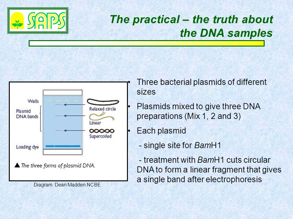 The practical – the truth about the DNA samples Three bacterial plasmids of different sizes Plasmids mixed to give three DNA preparations (Mix 1, 2 and 3) Each plasmid - single site for BamH1 - treatment with BamH1 cuts circular DNA to form a linear fragment that gives a single band after electrophoresis Diagram: Dean Madden NCBE
