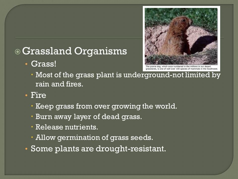  Grassland Organisms Grass!  Most of the grass plant is underground-not limited by rain and fires. Fire  Keep grass from over growing the world. 