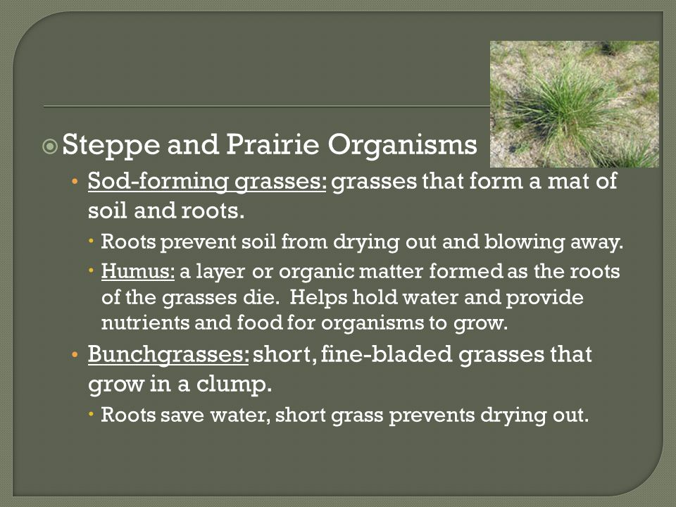  Steppe and Prairie Organisms Sod-forming grasses: grasses that form a mat of soil and roots.  Roots prevent soil from drying out and blowing away.