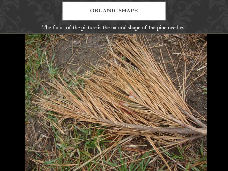 ORGANIC SHAPE The focus of the picture is the natural shape of the pine needles.