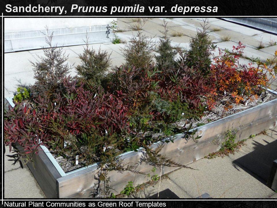 Natural Plant Communities as Green Roof Templates Sandcherry, Prunus pumila var. depressa