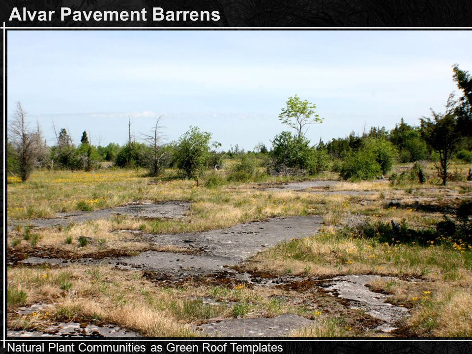 Natural Plant Communities as Green Roof Templates Natural Growing Conditions Senecio pauperculus – balsam groundsel