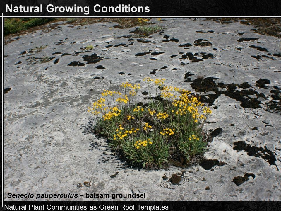 Natural Plant Communities as Green Roof Templates Blooms Aster ciliolatus Solidago ohioensis Campanula rotundifolia