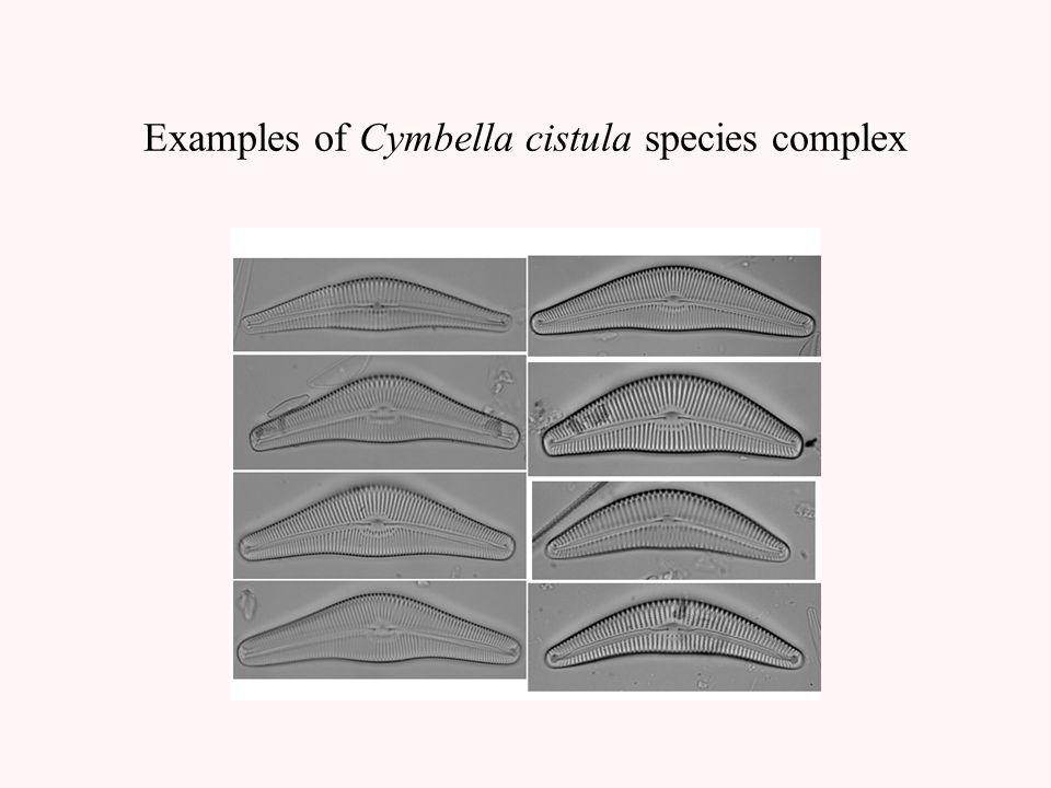 Examples of Cymbella cistula species complex