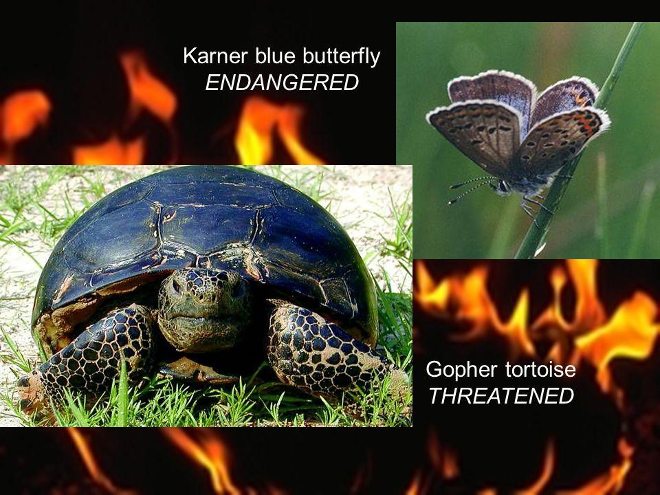 Karner blue butterfly ENDANGERED Gopher tortoise THREATENED