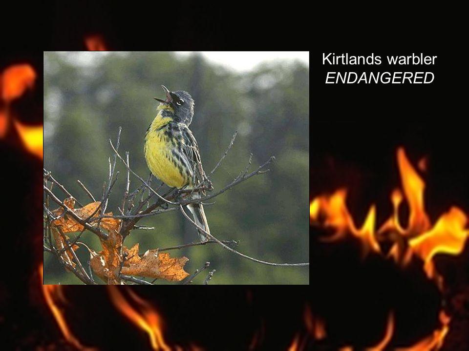 Kirtlands warbler ENDANGERED