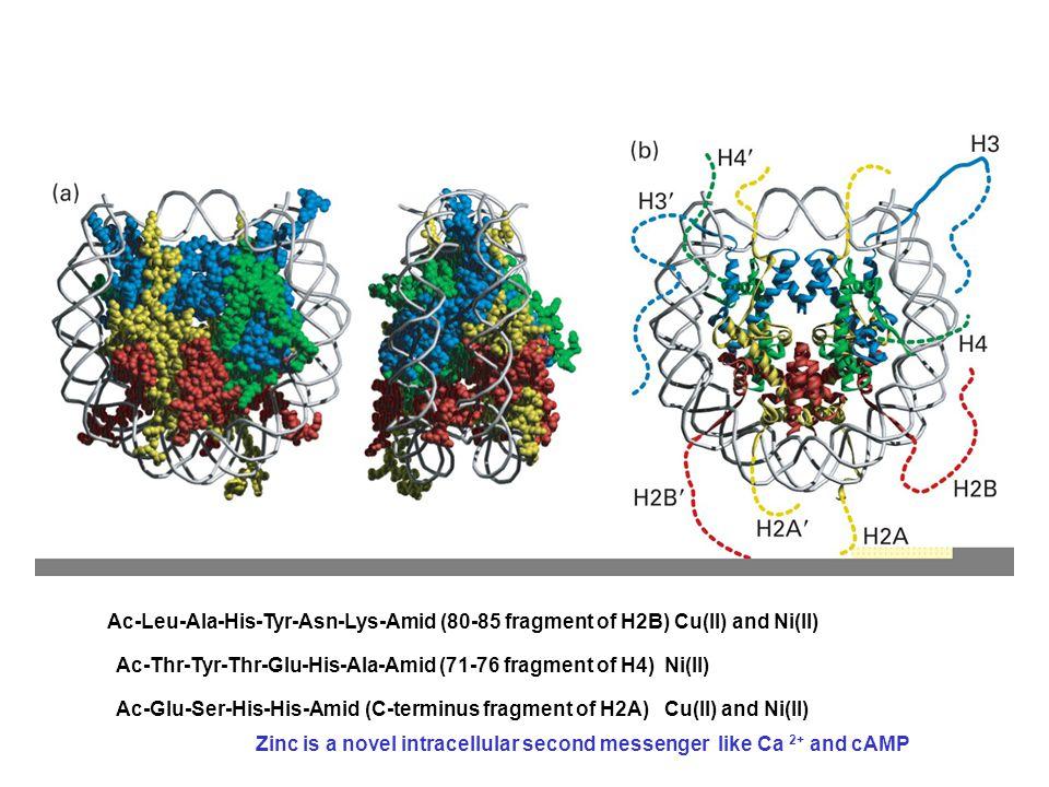 Ac-Leu-Ala-His-Tyr-Asn-Lys-Amid (80-85 fragment of H2B) Cu(II) and Ni(II) Ac-Thr-Tyr-Thr-Glu-His-Ala-Amid (71-76 fragment of H4) Ni(II) Ac-Glu-Ser-His-His-Amid (C-terminus fragment of H2A) Cu(II) and Ni(II) Zinc is a novel intracellular second messenger like Ca 2+ and cAMP