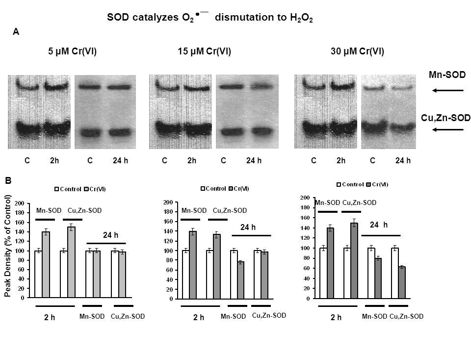 SOD catalyzes O 2  dismutation to H 2 O 2 15 μM Cr(VI)30 μM Cr(VI) C 2h 5 μM Cr(VI) Mn-SOD Cu,Zn-SOD C 2h C 24 h Peak Density (% of Control) Mn-SOD Cu,Zn-SOD 2 h 24 h 2 h 24 h Mn-SOD Cu,Zn-SOD 2 h 24 h Mn-SOD Cu,Zn-SOD A B