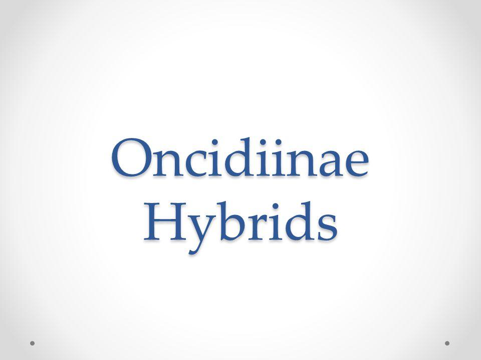 Oncidiinae Hybrids