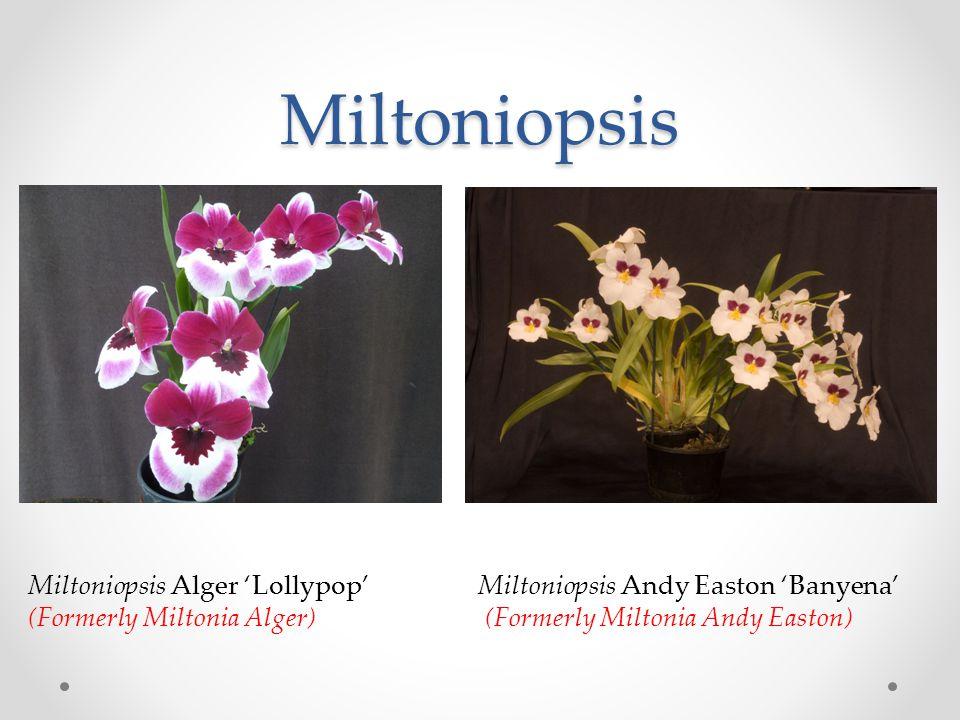 Miltoniopsis Miltoniopsis Alger 'Lollypop' Miltoniopsis Andy Easton 'Banyena' (Formerly Miltonia Alger) (Formerly Miltonia Andy Easton)