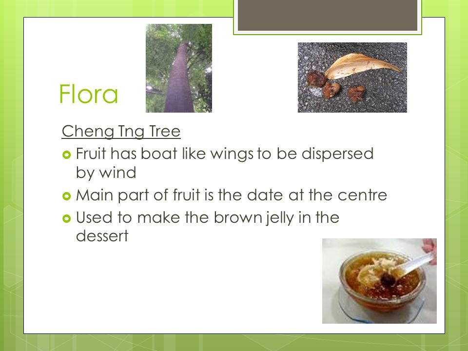 Flora Cheng Tng Tree  Fruit has boat like wings to be dispersed by wind  Main part of fruit is the date at the centre  Used to make the brown jelly in the dessert
