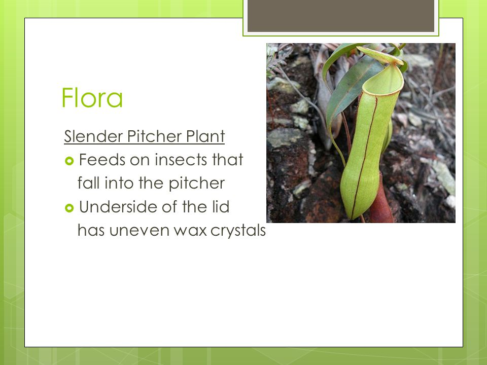 Flora Slender Pitcher Plant  Feeds on insects that fall into the pitcher  Underside of the lid has uneven wax crystals