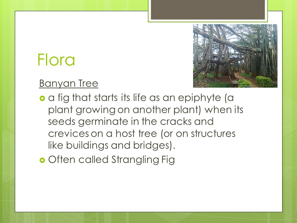 Flora Banyan Tree  a fig that starts its life as an epiphyte (a plant growing on another plant) when its seeds germinate in the cracks and crevices on a host tree (or on structures like buildings and bridges).