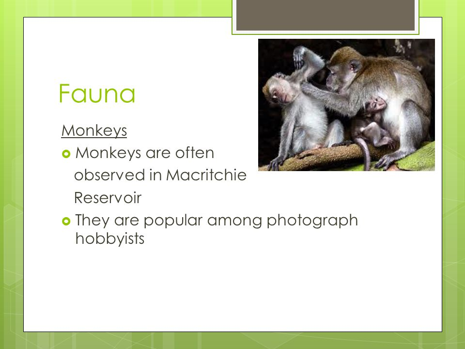 Fauna Monkeys  Monkeys are often observed in Macritchie Reservoir  They are popular among photograph hobbyists