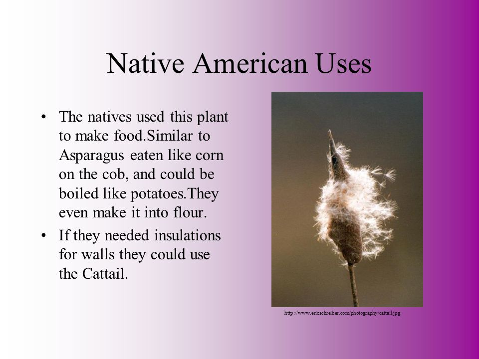 Native American Uses The natives used this plant to make food.Similar to Asparagus eaten like corn on the cob, and could be boiled like potatoes.They even make it into flour.
