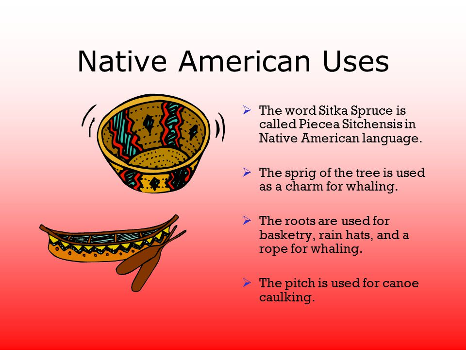 Native American Uses  The word Sitka Spruce is called Piecea Sitchensis in Native American language.