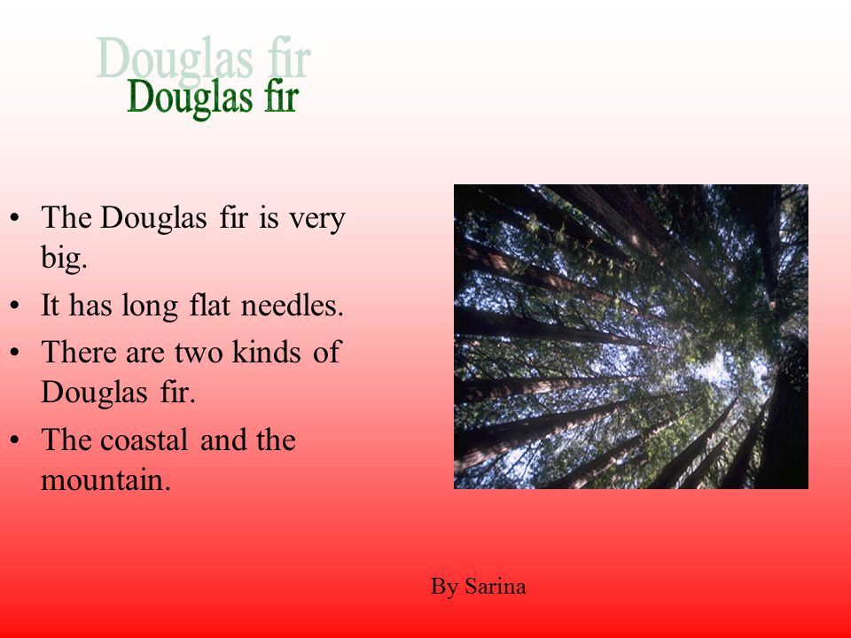 By Sarina The Douglas fir is very big. It has long flat needles.