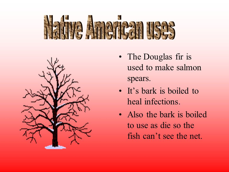 The Douglas fir is used to make salmon spears. It's bark is boiled to heal infections.