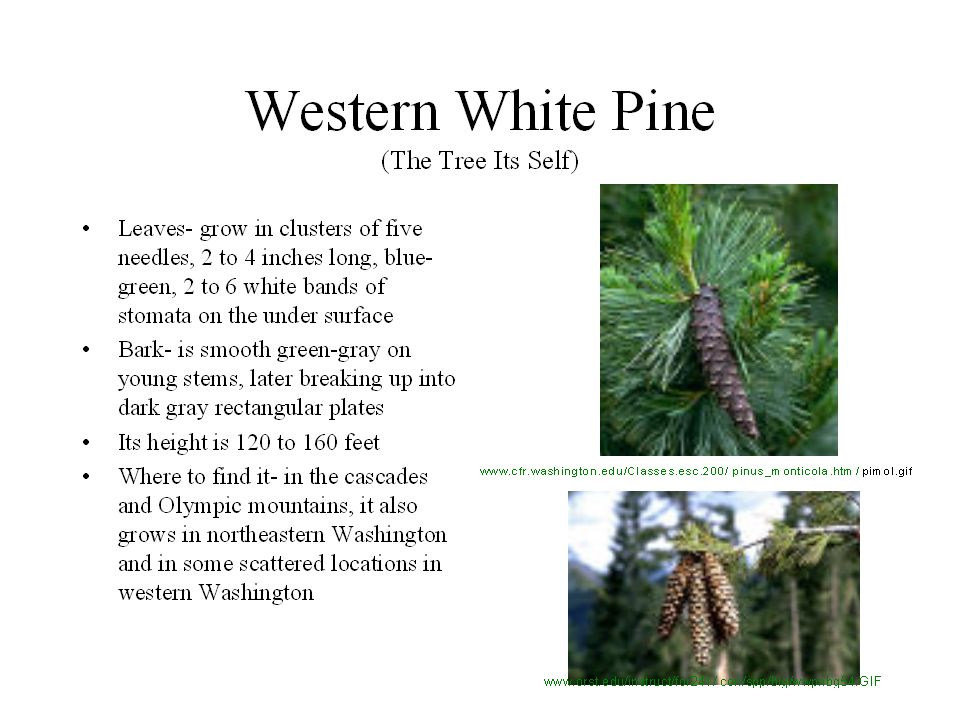 Local trees and shrubs of washington state native american usage 1 local trees and shrubs of washington state native american usage local trees and shrubs of washington state native american usage publicscrutiny Images