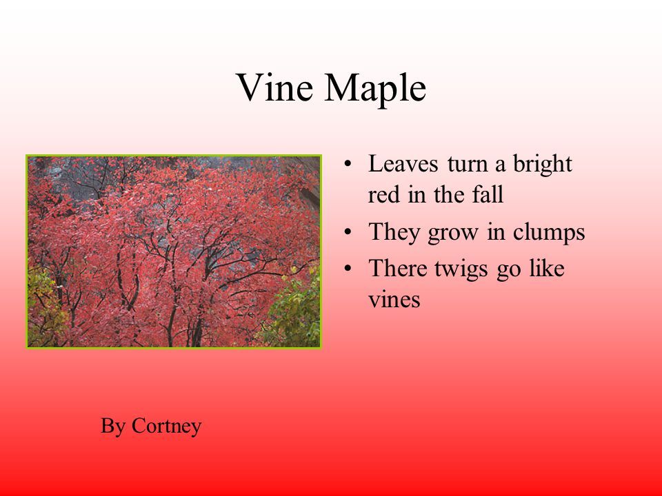 Vine Maple Leaves turn a bright red in the fall They grow in clumps There twigs go like vines By Cortney