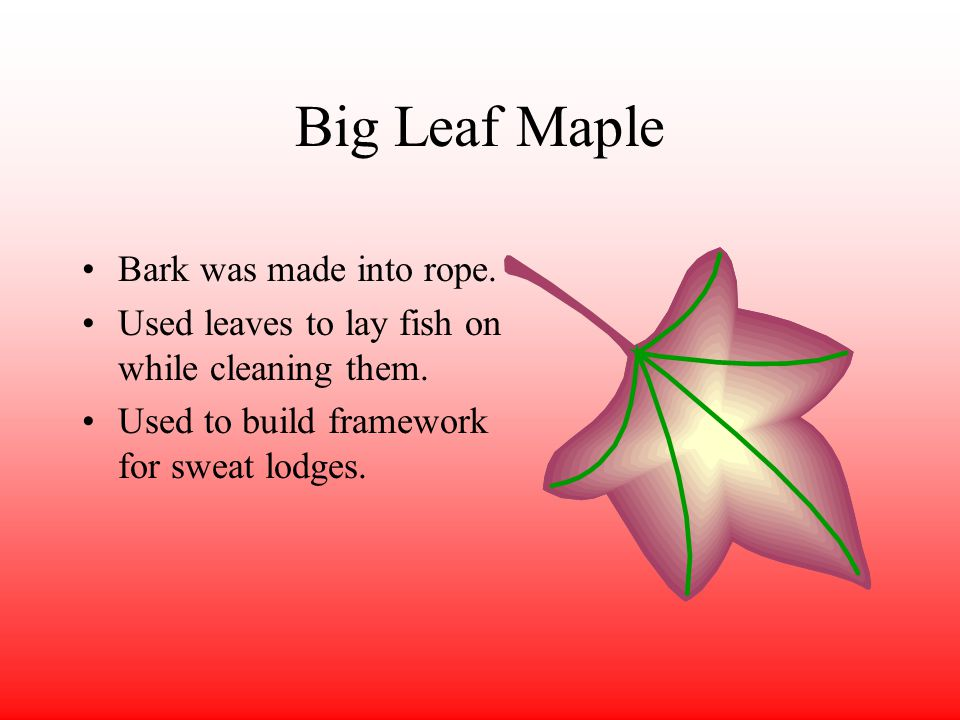 Big Leaf Maple Bark was made into rope. Used leaves to lay fish on while cleaning them.