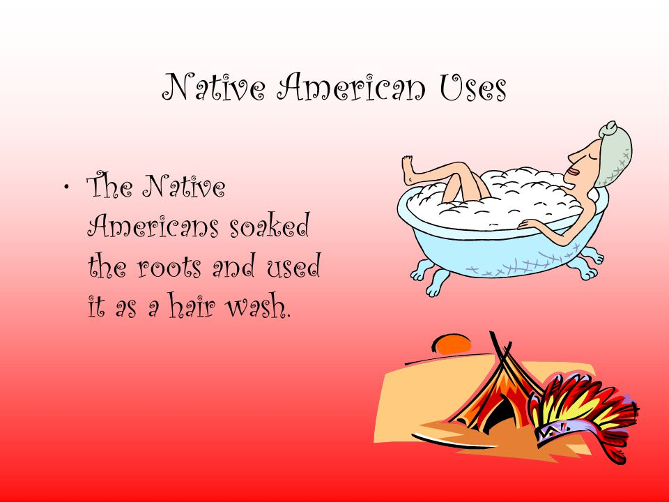 Native American Uses The Native Americans soaked the roots and used it as a hair wash.