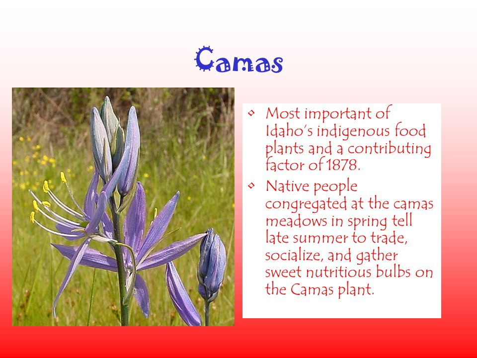 Camas Most important of Idaho's indigenous food plants and a contributing factor of 1878.