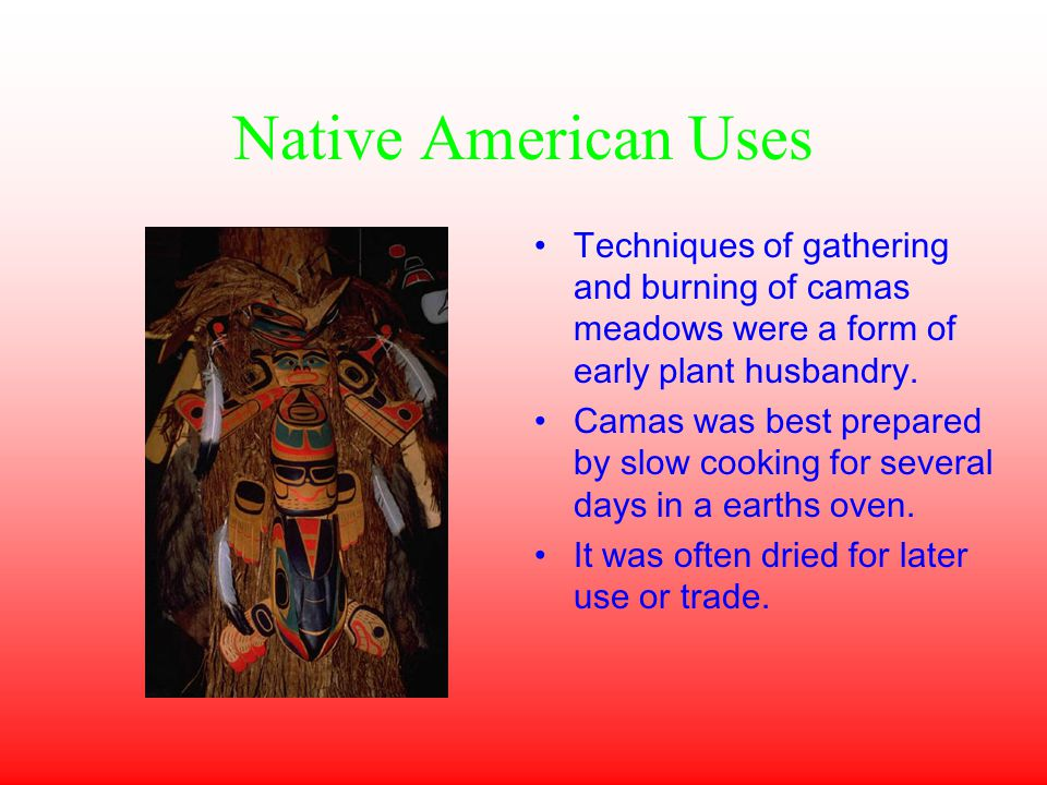 Native American Uses Techniques of gathering and burning of camas meadows were a form of early plant husbandry.