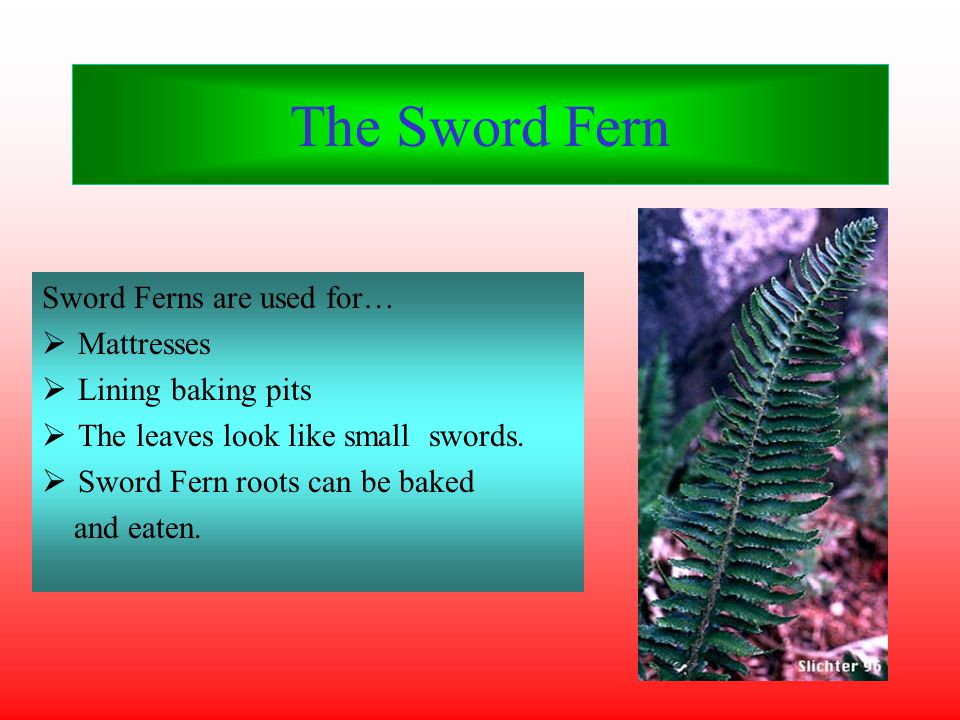 The Sword Fern Sword Ferns are used for…  Mattresses  Lining baking pits  The leaves look like small swords.