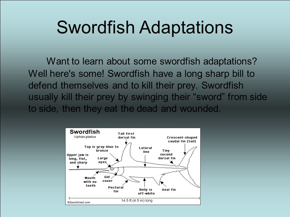 Introduction Have you ever heard of a swordfish. Did you ever want to learn about them.