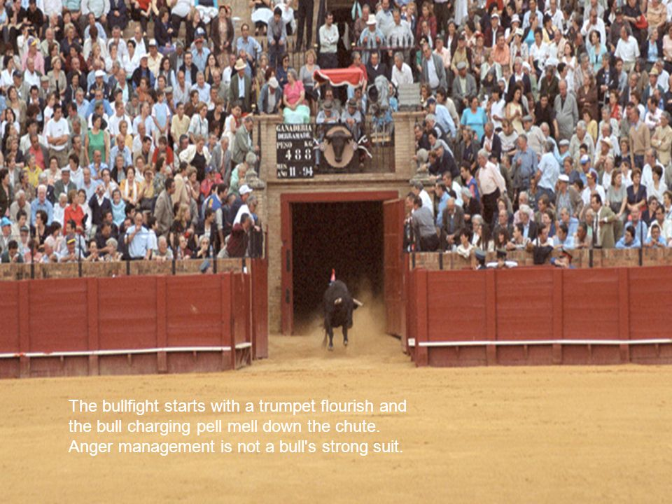 The bullfight starts with a trumpet flourish and the bull charging pell mell down the chute.
