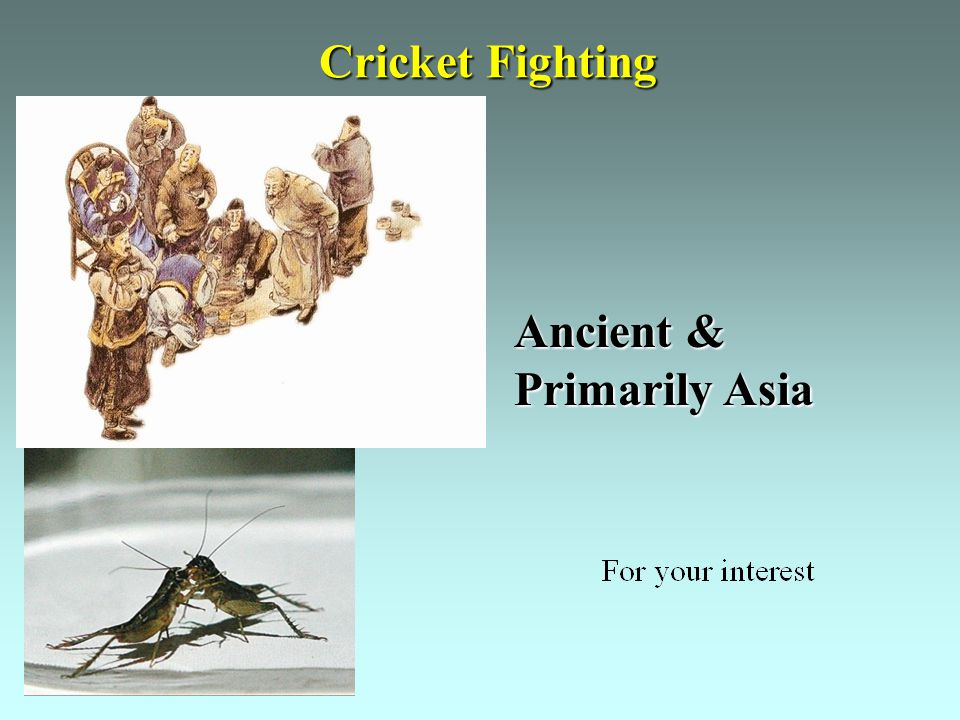 Cricket Fighting Ancient & Primarily Asia
