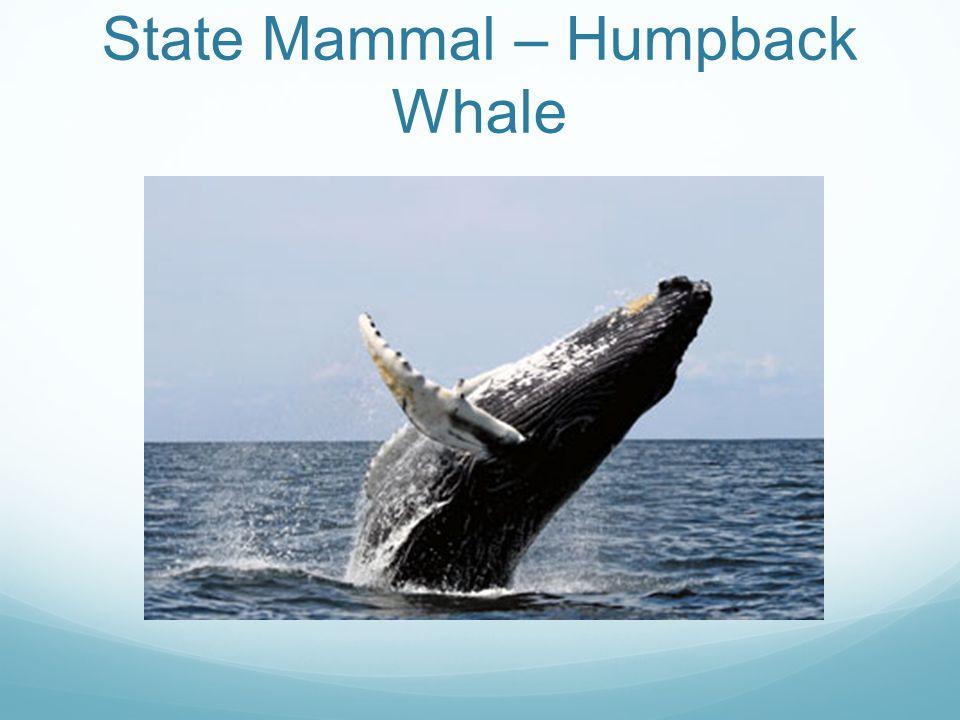 State Mammal – Humpback Whale
