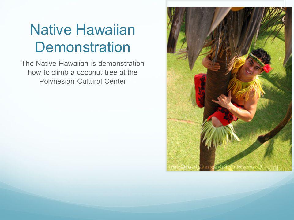 Native Hawaiian Demonstration The Native Hawaiian is demonstration how to climb a coconut tree at the Polynesian Cultural Center