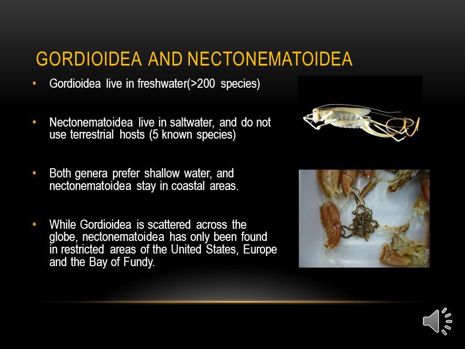 CLASSIFICATION Domain: Eukarya Kingdom: Animalia Phylum: Nematomorpha Classes: Gordoida and Nectonematoidea Species: 240