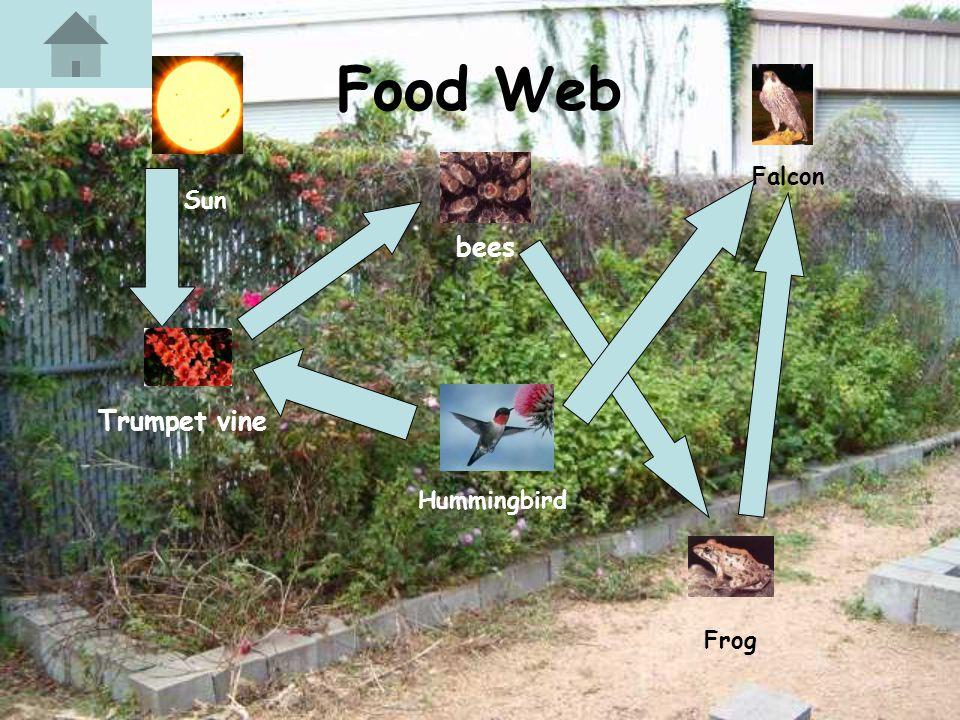 Food Web Trumpet vine bees Sun Frog Falcon Hummingbird