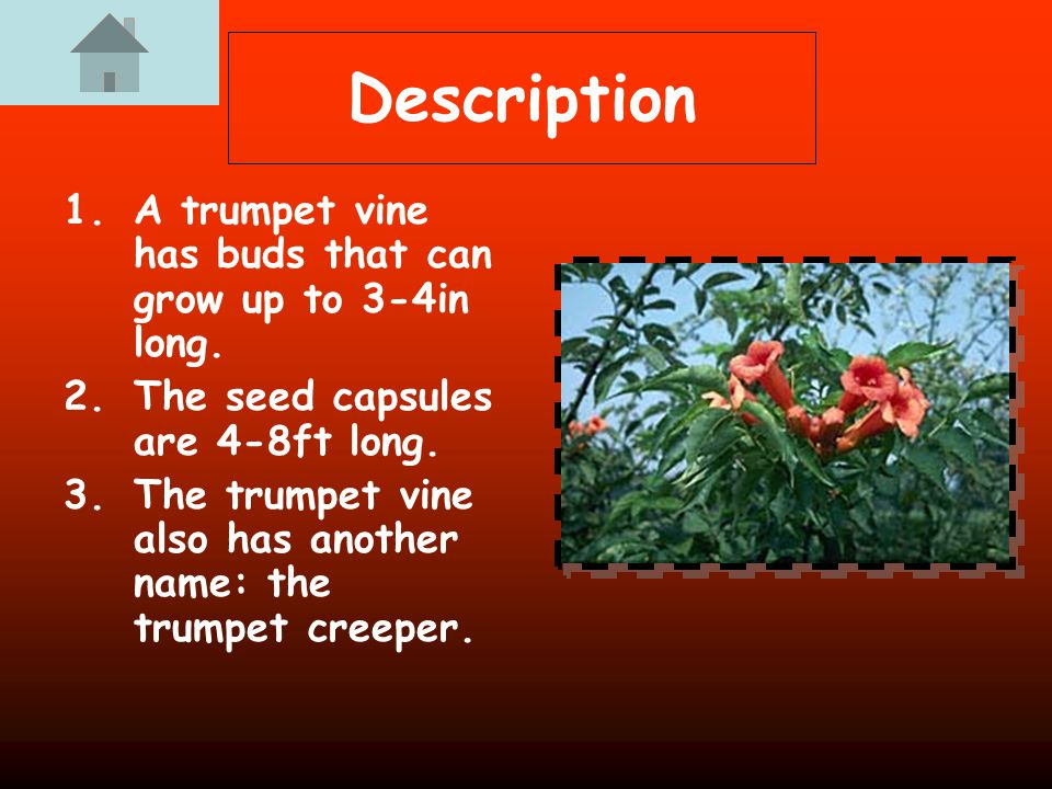 Description 1.A trumpet vine has buds that can grow up to 3-4in long.