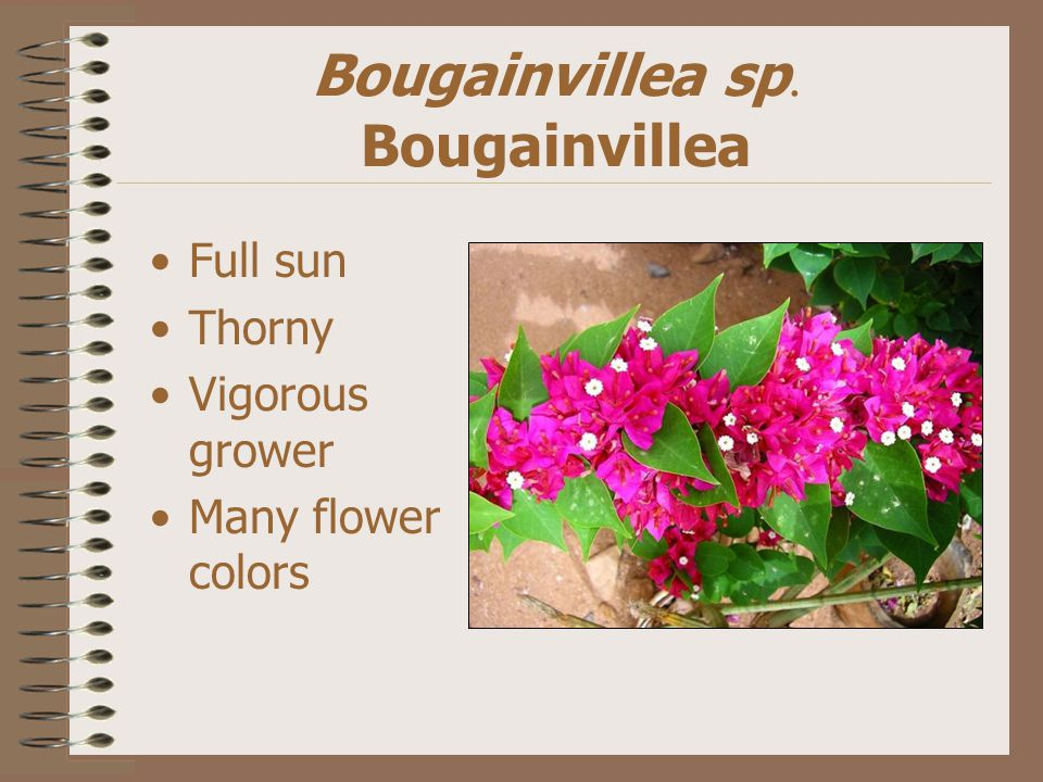 Bougainvillea sp. Bougainvillea Full sun Thorny Vigorous grower Many flower colors