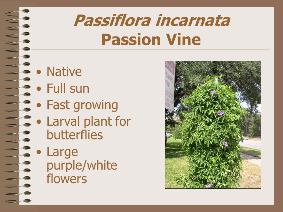 Passiflora incarnata Passion Vine Native Full sun Fast growing Larval plant for butterflies Large purple/white flowers