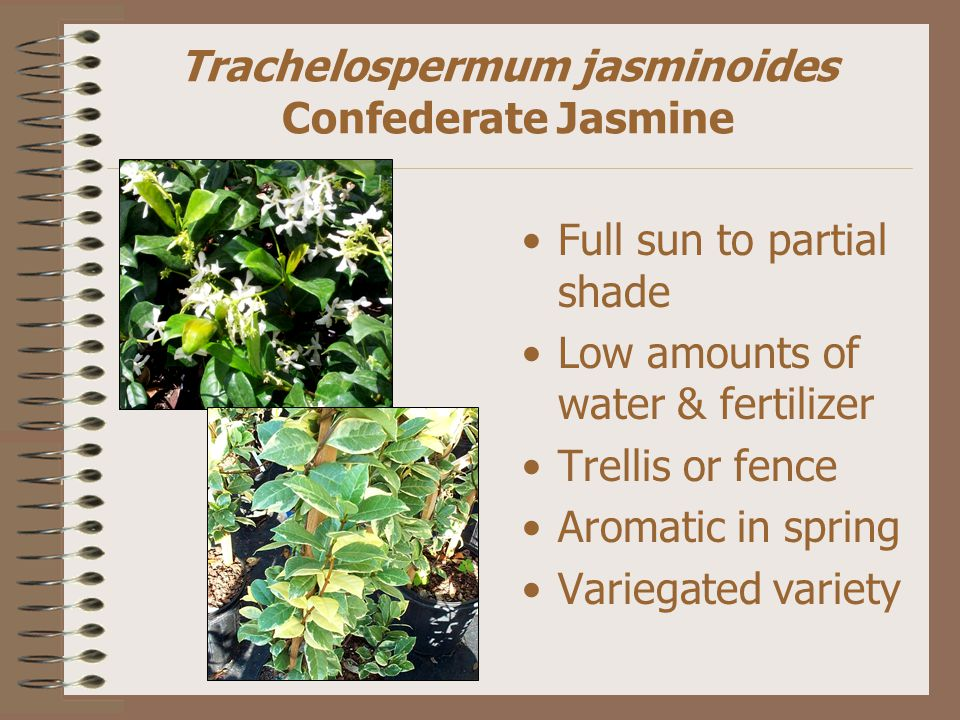 Trachelospermum jasminoides Confederate Jasmine Full sun to partial shade Low amounts of water & fertilizer Trellis or fence Aromatic in spring Variegated variety