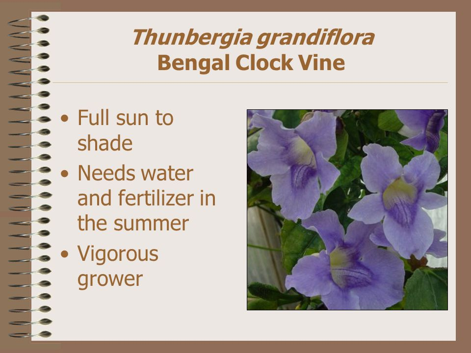 Thunbergia grandiflora Bengal Clock Vine Full sun to shade Needs water and fertilizer in the summer Vigorous grower