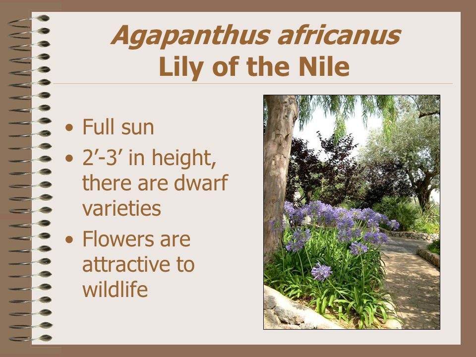 Agapanthus africanus Lily of the Nile Full sun 2'-3' in height, there are dwarf varieties Flowers are attractive to wildlife