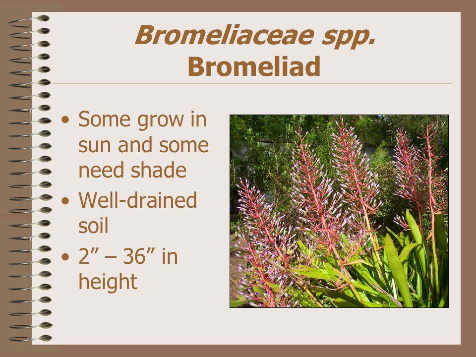Bromeliaceae spp.