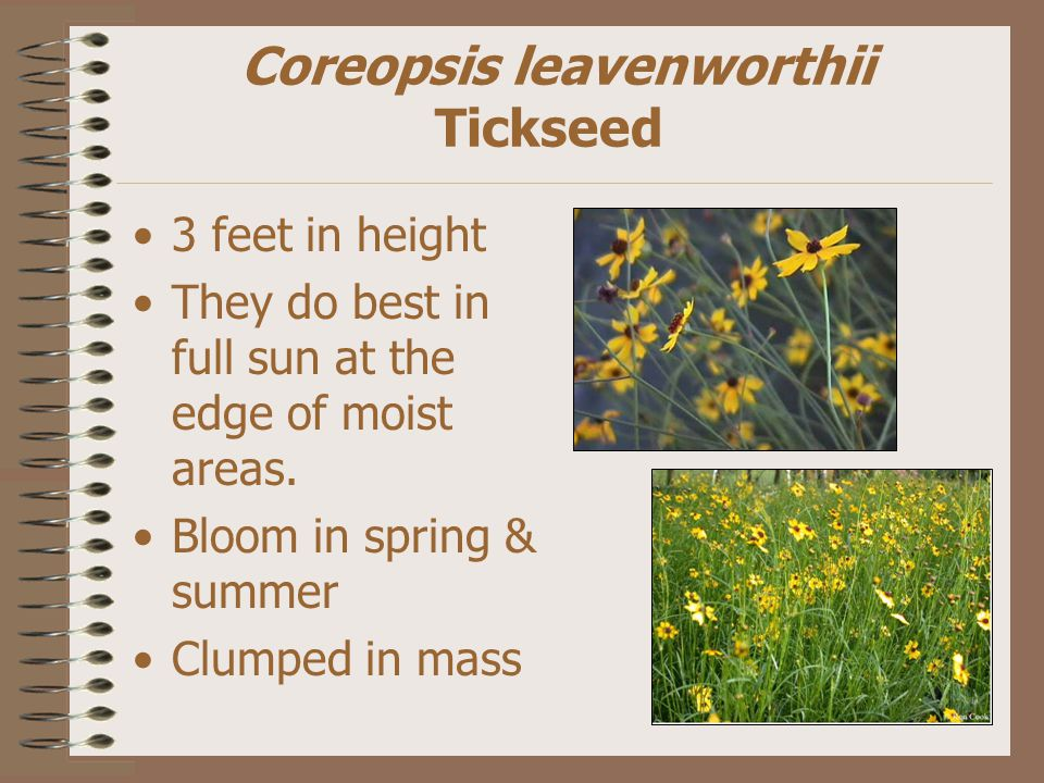 Coreopsis leavenworthii Tickseed 3 feet in height They do best in full sun at the edge of moist areas.