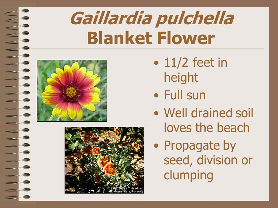 Gaillardia pulchella Blanket Flower 11/2 feet in height Full sun Well drained soil loves the beach Propagate by seed, division or clumping